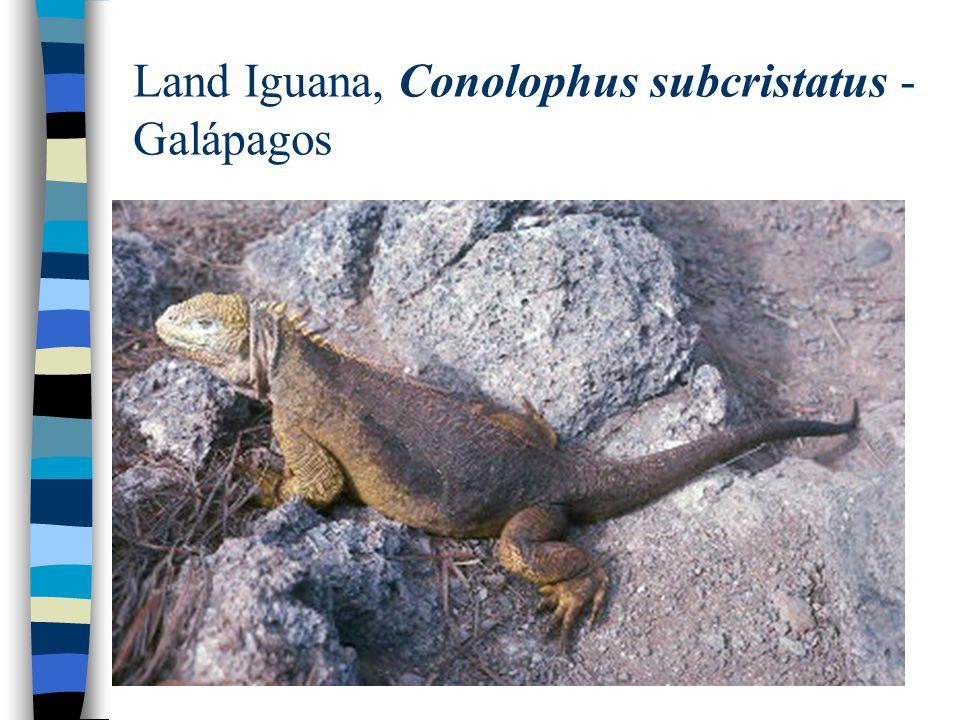 Land Iguana, Conolophus subcristatus - Galápagos