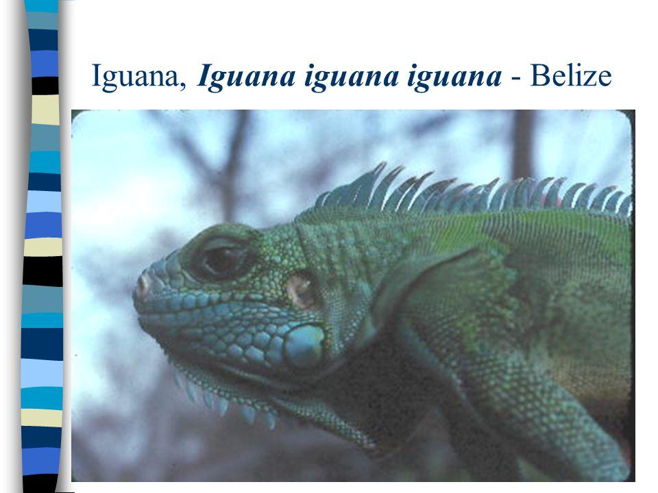 Iguana, Iguana iguana iguana - Belize