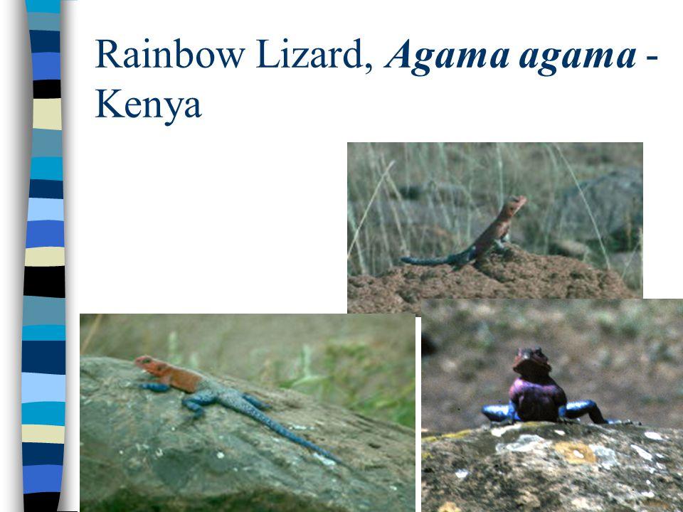 Rainbow Lizard, Agama agama - Kenya