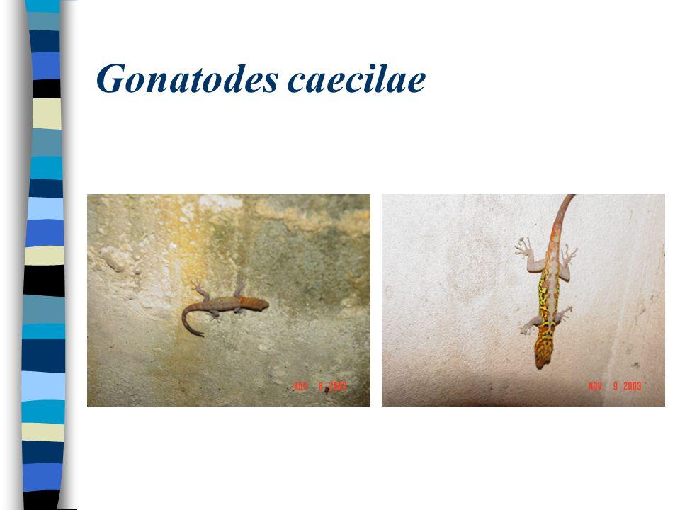 Gonatodes caecilae