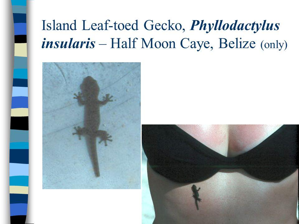 Island Leaf-toed Gecko, Phyllodactylus insularis – Half Moon Caye, Belize (only)