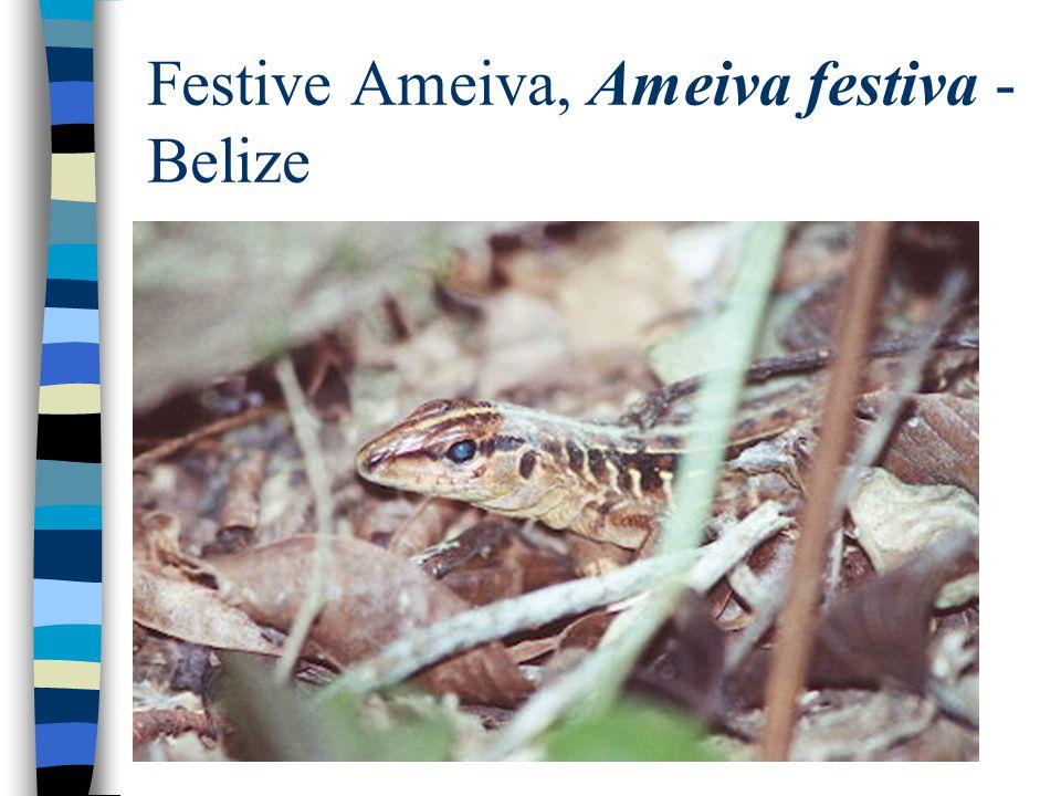 Festive Ameiva, Ameiva festiva - Belize