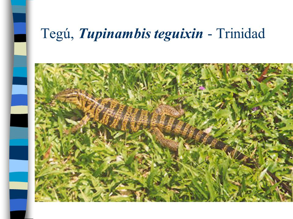 Tegú, Tupinambis teguixin - Trinidad