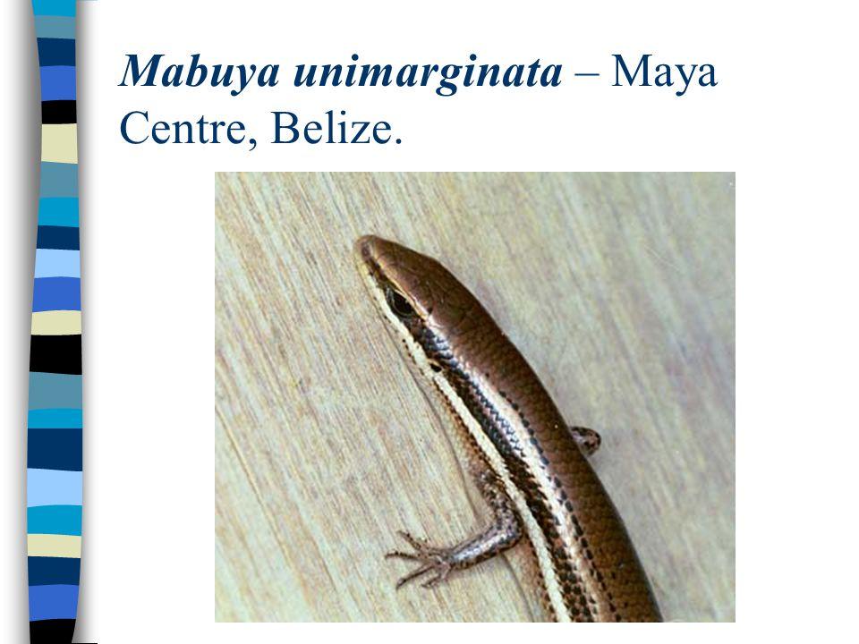 Mabuya unimarginata – Maya Centre, Belize.
