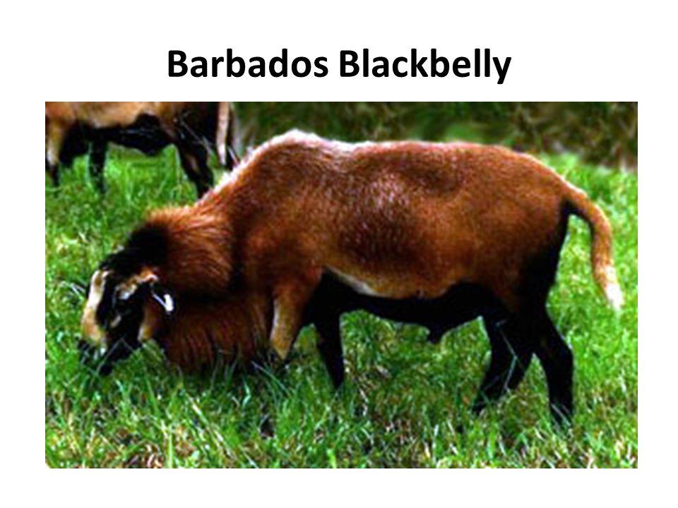 Barbados Blackbelly