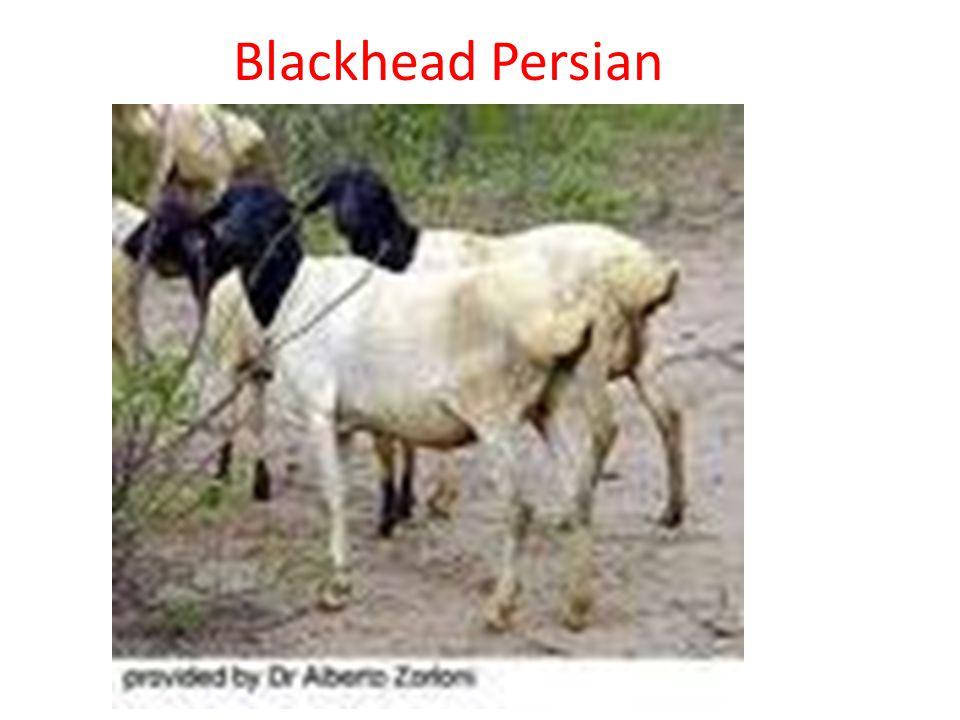 Blackhead Persian