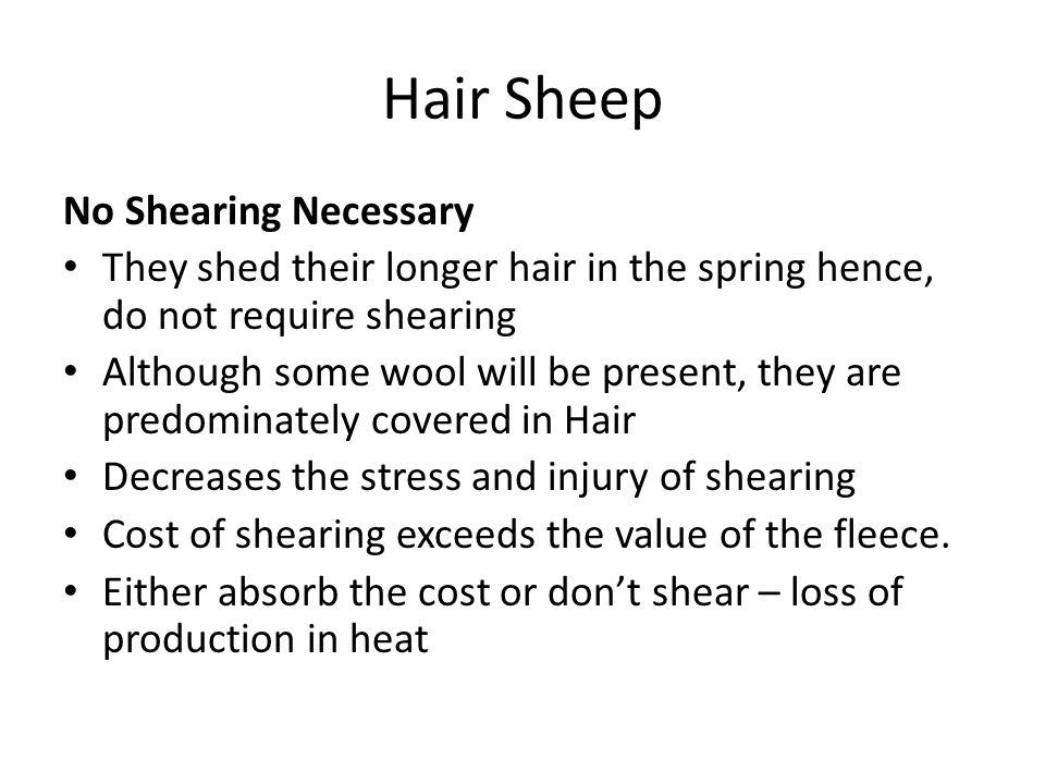 Hair Sheep No Shearing Necessary They shed their longer hair in the spring hence, do not require shearing Although some wool will be present, they are