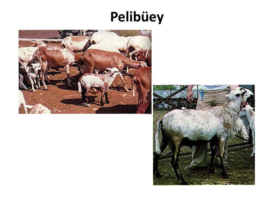 Pelibüey
