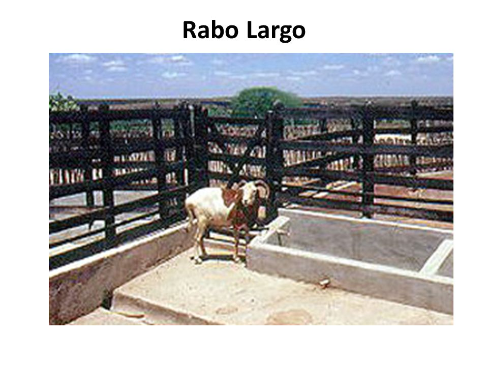 Rabo Largo
