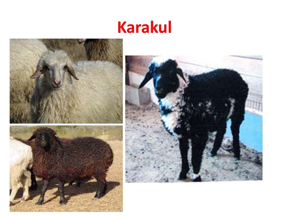 Karakul