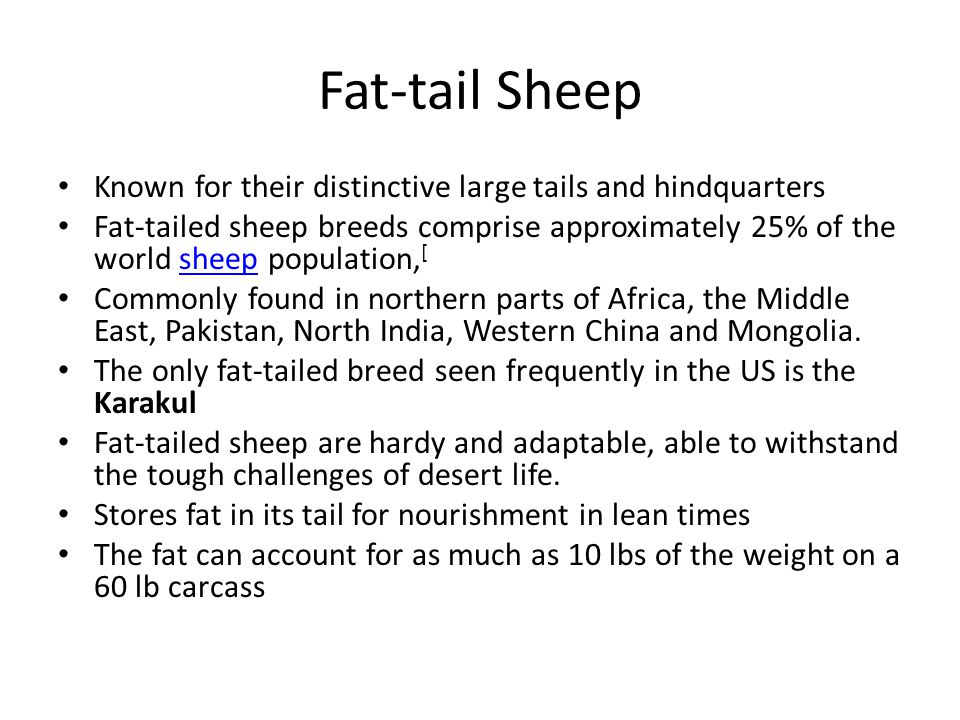Fat-tail Sheep Known for their distinctive large tails and hindquarters Fat-tailed sheep breeds comprise approximately 25% of the world sheep populati