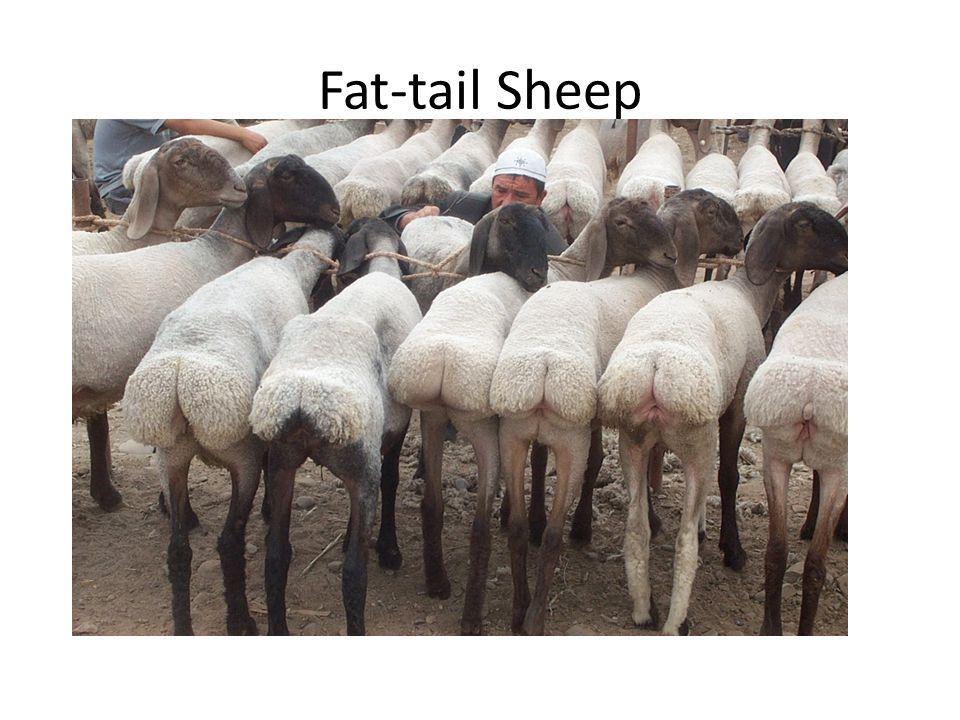 Fat-tail Sheep