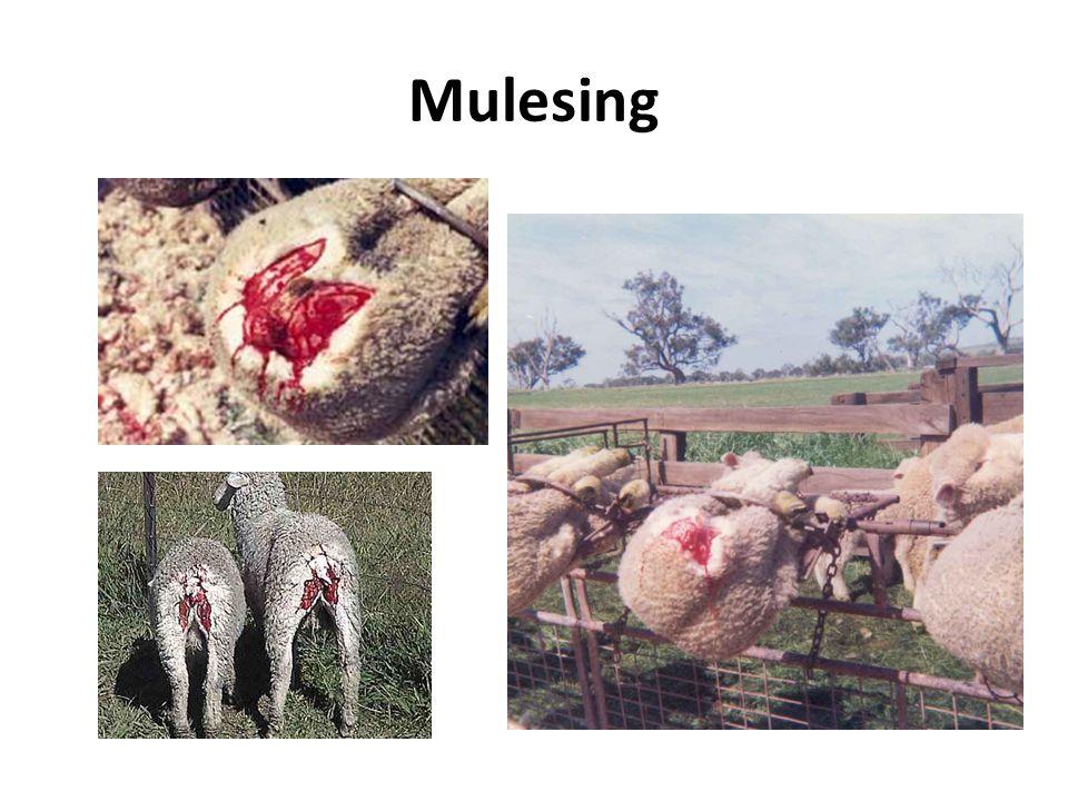 Mulesing