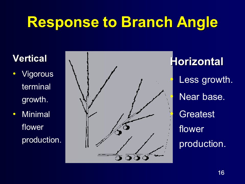 16 Response to Branch Angle Vertical Vigorous terminal growth.