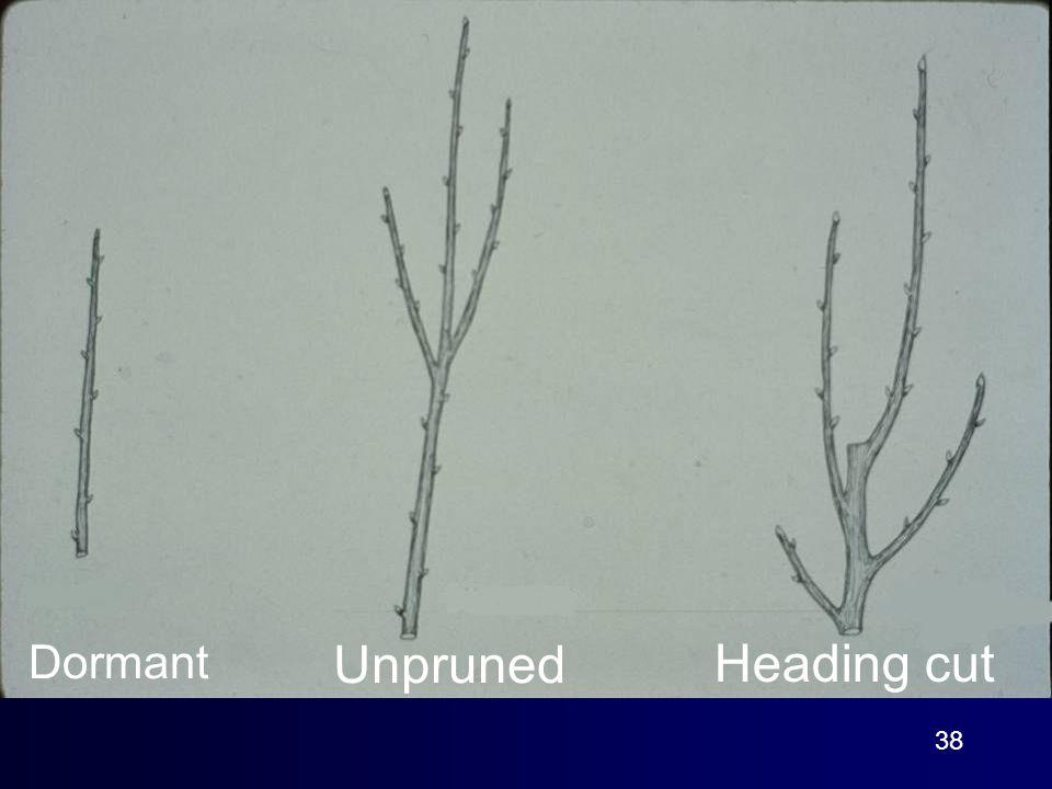 38 Dormant Unpruned Heading cut