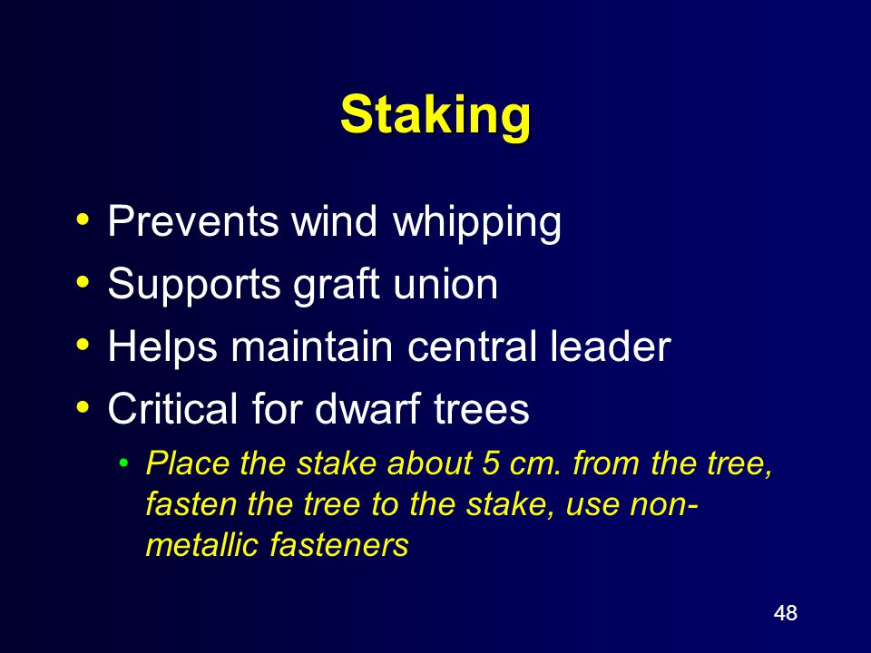 48 Staking Prevents wind whipping Supports graft union Helps maintain central leader Critical for dwarf trees Place the stake about 5 cm. from the tre