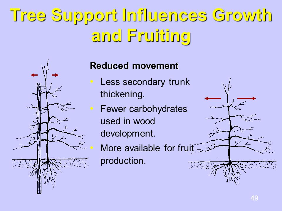 49 Tree Support Influences Growth and Fruiting Reduced movement Less secondary trunk thickening. Fewer carbohydrates used in wood development. More av
