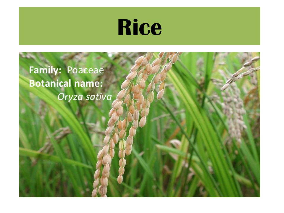 Flood prone rice Worldwide about 9 mill ha.Grown in low lying land in river deltas.