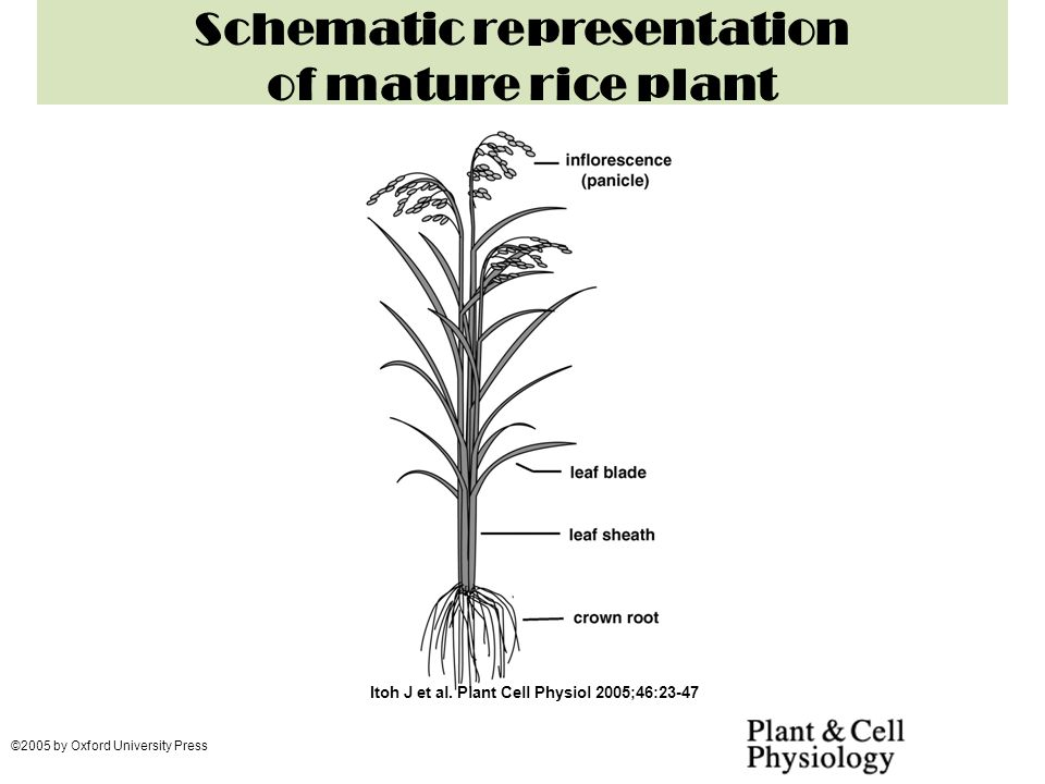 Schematic representation of mature rice plant Itoh J et al. Plant Cell Physiol 2005;46:23-47 ©2005 by Oxford University Press