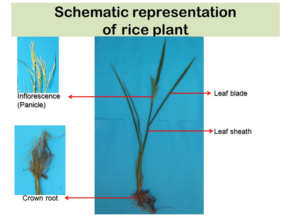Schematic representation of rice plant Itoh J et al. Plant Cell Physiol 2005;46:23-47 Leaf blade Inflorescence(Panicle) Crown root Leaf sheath