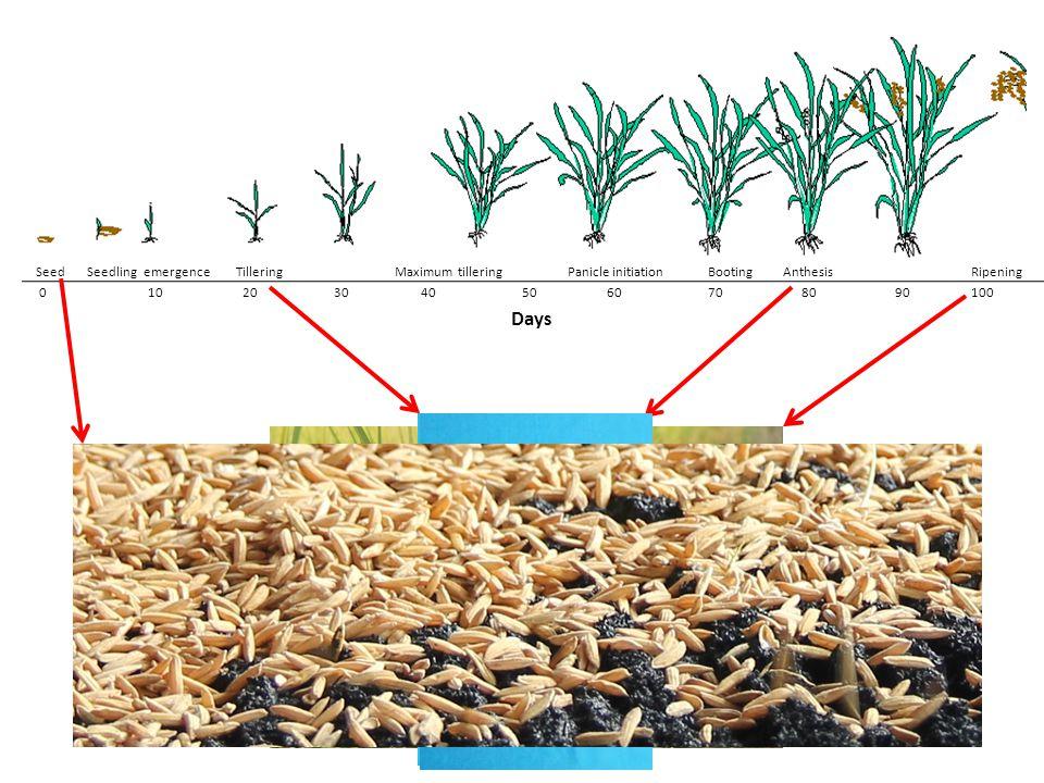 Seed Seedling emergence TilleringMaximum tillering Panicle initiation Booting Anthesis Ripening 0 10 20 30 4050 60 70 80 90 100 Days
