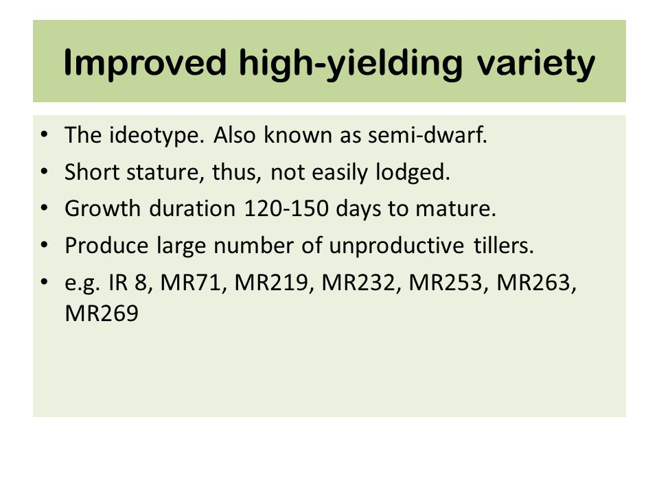Improved high-yielding variety The ideotype. Also known as semi-dwarf. Short stature, thus, not easily lodged. Growth duration 120-150 days to mature.