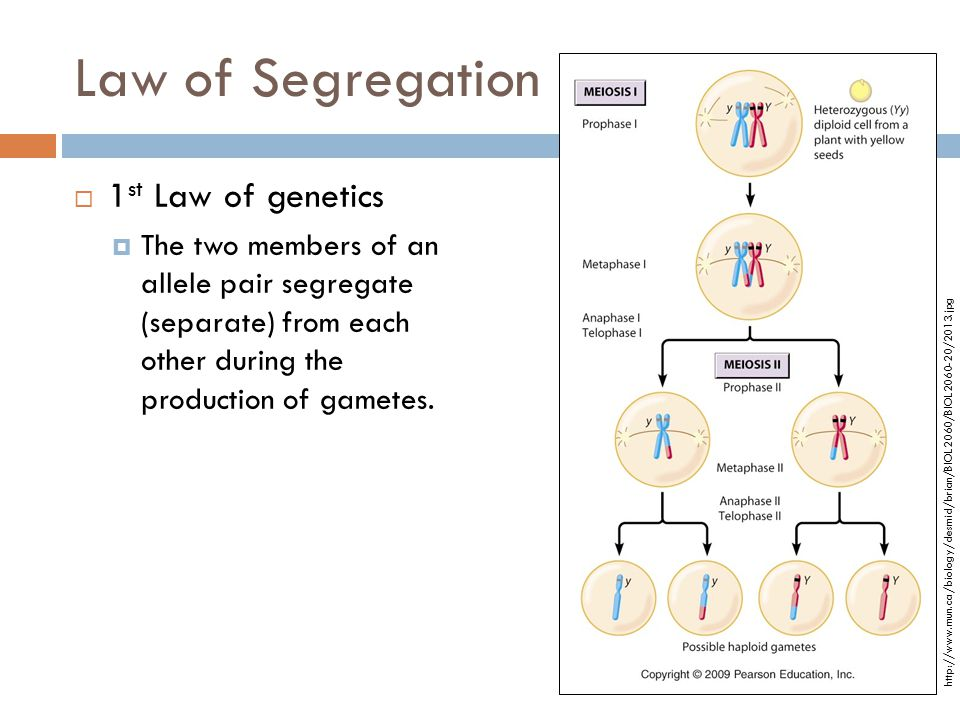 Law of Segregation  1 st Law of genetics  The two members of an allele pair segregate (separate) from each other during the production of gametes. h