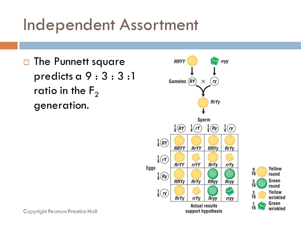 Independent Assortment  The Punnett square predicts a 9 : 3 : 3 :1 ratio in the F 2 generation. Copyright Pearson Prentice Hall
