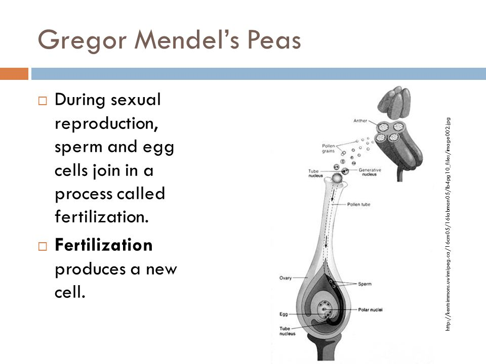 Gregor Mendel's Peas  During sexual reproduction, sperm and egg cells join in a process called fertilization.  Fertilization produces a new cell. ht