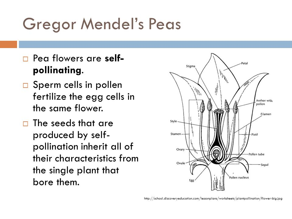 Gregor Mendel's Peas  Pea flowers are self- pollinating.  Sperm cells in pollen fertilize the egg cells in the same flower.  The seeds that are pro