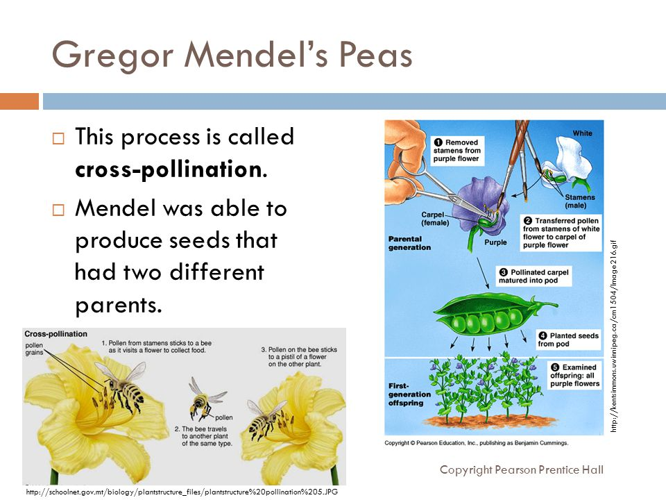 Gregor Mendel's Peas  This process is called cross-pollination.  Mendel was able to produce seeds that had two different parents. Copyright Pearson
