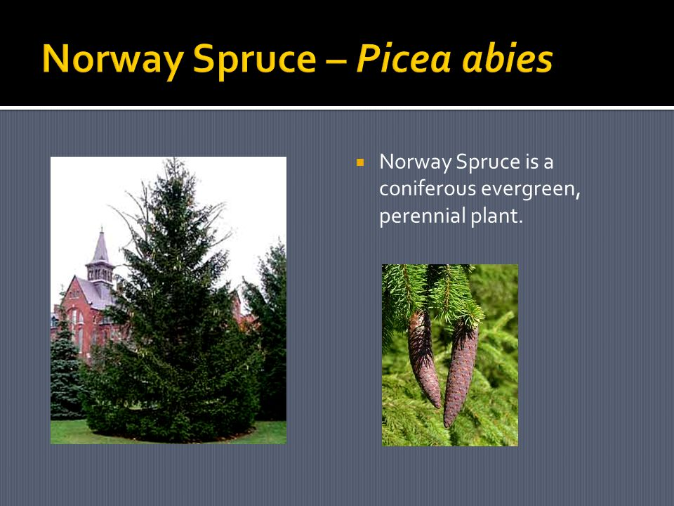  Norway Spruce is a coniferous evergreen, perennial plant.