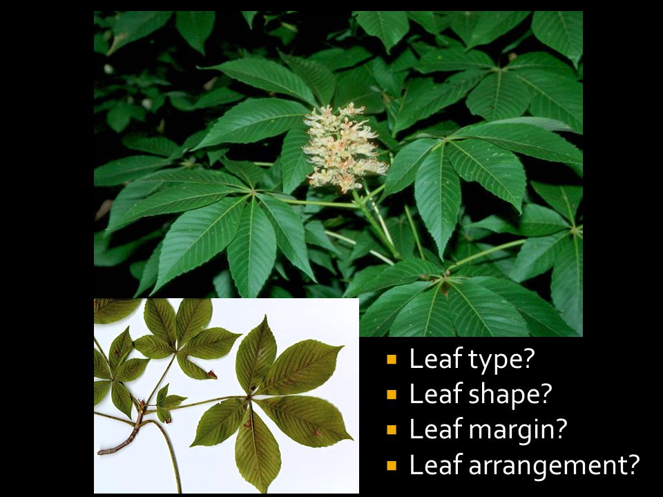  Leaf type  Leaf shape  Leaf margin  Leaf arrangement
