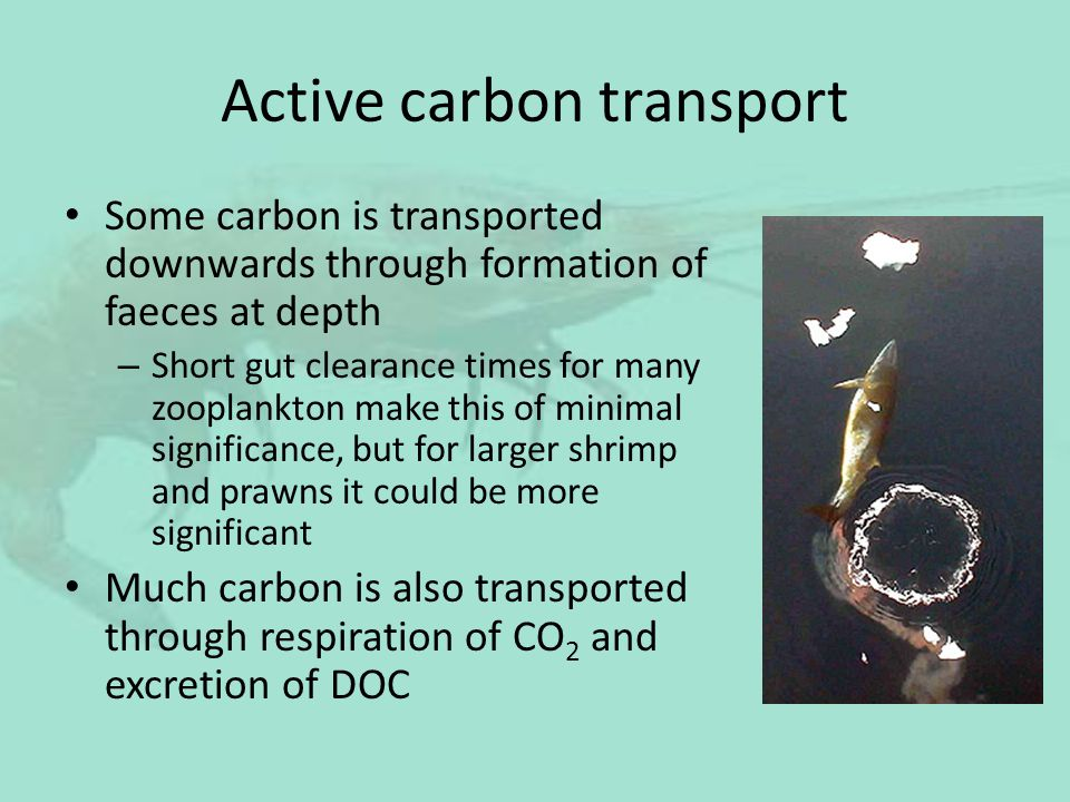 Active carbon transport Some carbon is transported downwards through formation of faeces at depth – Short gut clearance times for many zooplankton mak