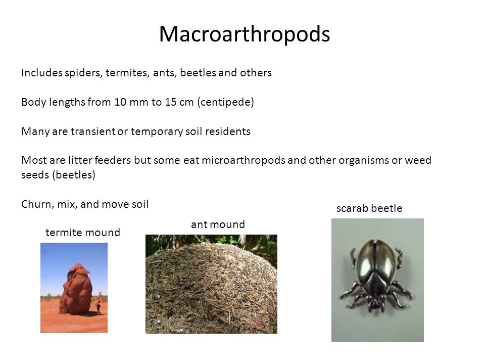 Macroarthropods Includes spiders, termites, ants, beetles and others Body lengths from 10 mm to 15 cm (centipede) Many are transient or temporary soil residents Most are litter feeders but some eat microarthropods and other organisms or weed seeds (beetles) Churn, mix, and move soil termite mound ant mound scarab beetle