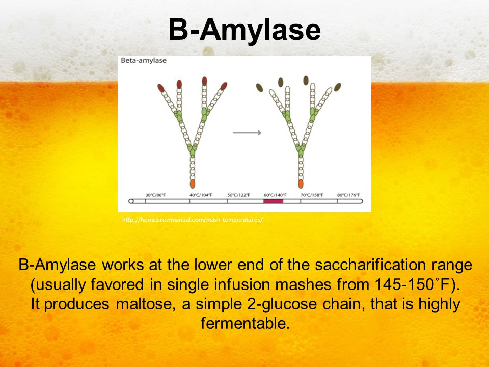 B-Amylase http://homebrewmanual.com/mash-temperatures/ B-Amylase works at the lower end of the saccharification range (usually favored in single infus