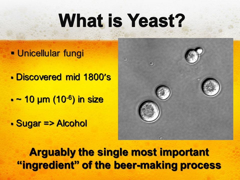 """ Unicellular fungi  Discovered mid 1800 ' s  ~ 10 µm (10 -6 ) in size  Sugar => Alcohol Arguably the single most important """"ingredient"""" of the bee"""