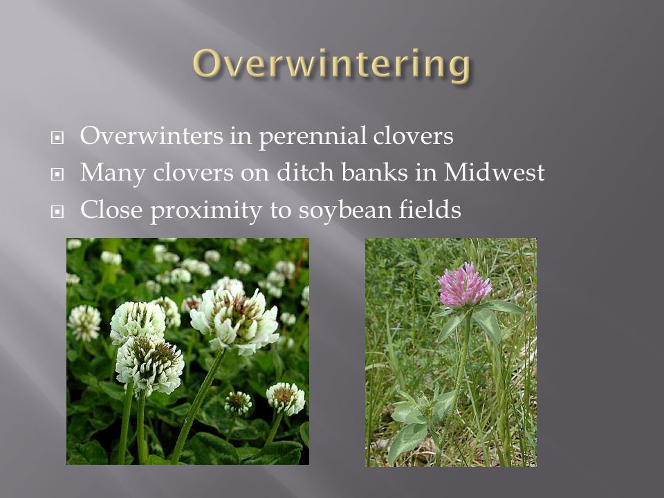  Overwinters in perennial clovers  Many clovers on ditch banks in Midwest  Close proximity to soybean fields