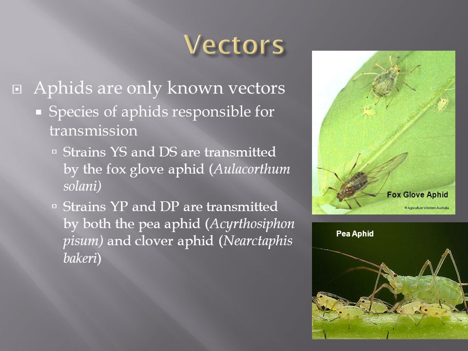 Aphids are only known vectors  Species of aphids responsible for transmission  Strains YS and DS are transmitted by the fox glove aphid ( Aulacorthum solani)  Strains YP and DP are transmitted by both the pea aphid ( Acyrthosiphon pisum) and clover aphid ( Nearctaphis bakeri ) Fox Glove Aphid Pea Aphid