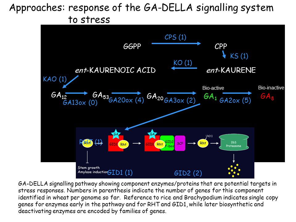 Approaches: response of the GA-DELLA signalling system to stress GGPPCPP CPS (1) ent-KAURENE KS (1) ent-KAURENOIC ACID KO (1) GA 53 KAO (1) GA 20 GA20ox (4) GA 1 GA3ox (2) GA 8 GA2ox (5) Bio-active Bio-inactive GA 12 GA13ox (0) RHT (1) GID1 (1) GID2 (2) GA-DELLA signalling pathway showing component enzymes/proteins that are potential targets in stress responses.