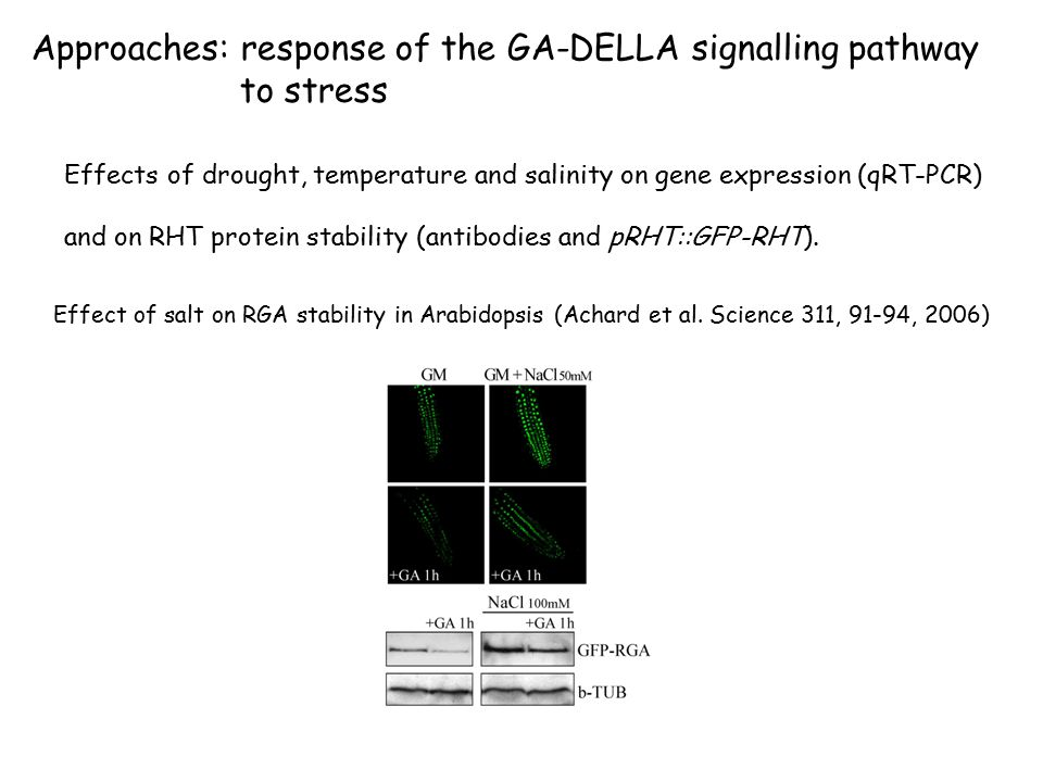 Approaches: response of the GA-DELLA signalling pathway to stress Effects of drought, temperature and salinity on gene expression (qRT-PCR) and on RHT protein stability (antibodies and pRHT::GFP-RHT).
