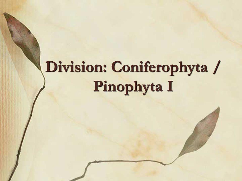 Division: Coniferophyta / Pinophyta I