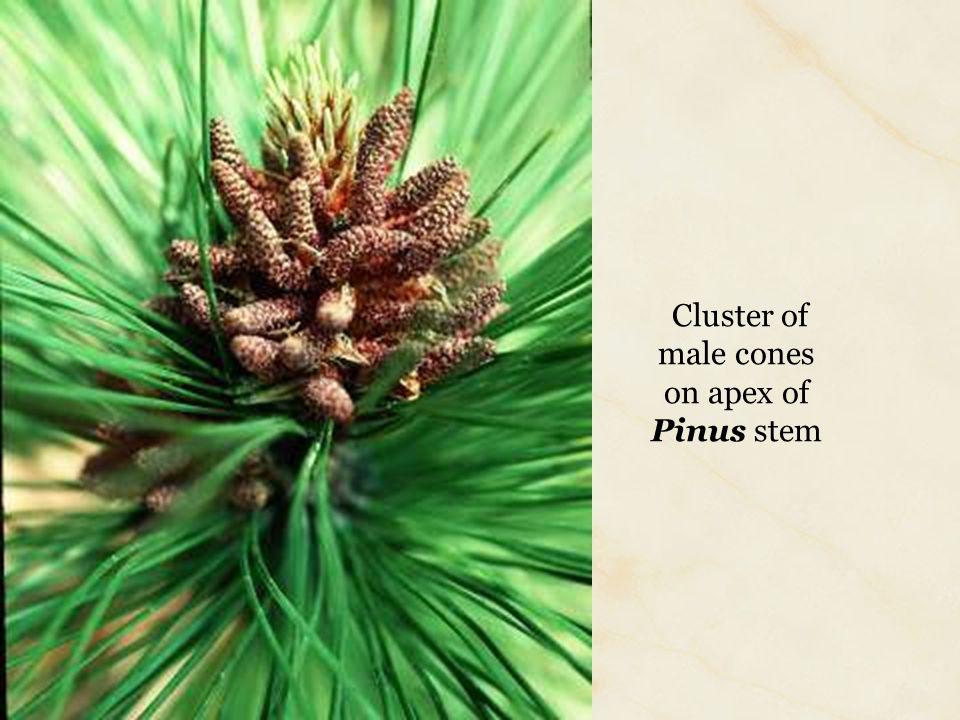 Cluster of male cones on apex of Pinus stem