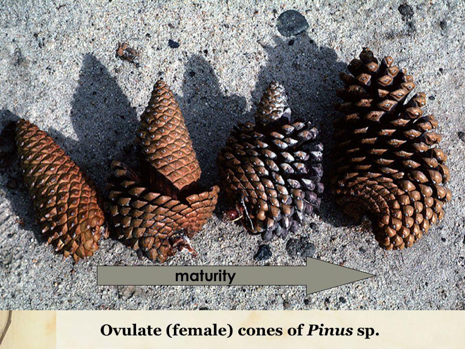 maturity Ovulate (female) cones of Pinus sp.
