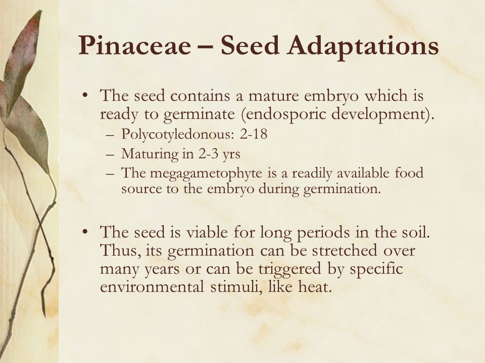 Pinaceae – Seed Adaptations The seed contains a mature embryo which is ready to germinate (endosporic development).