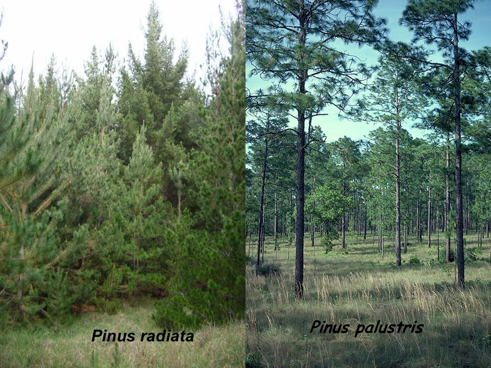 Pinus radiata Pinus palustris