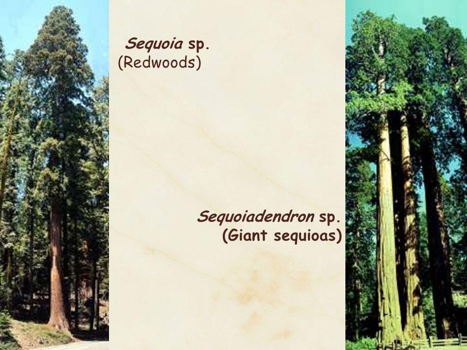 Sequoia sp. (Redwoods) Sequoiadendron sp. (Giant sequioas)