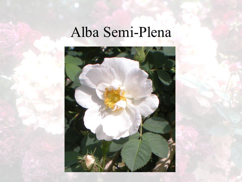 Alba Semi-Plena