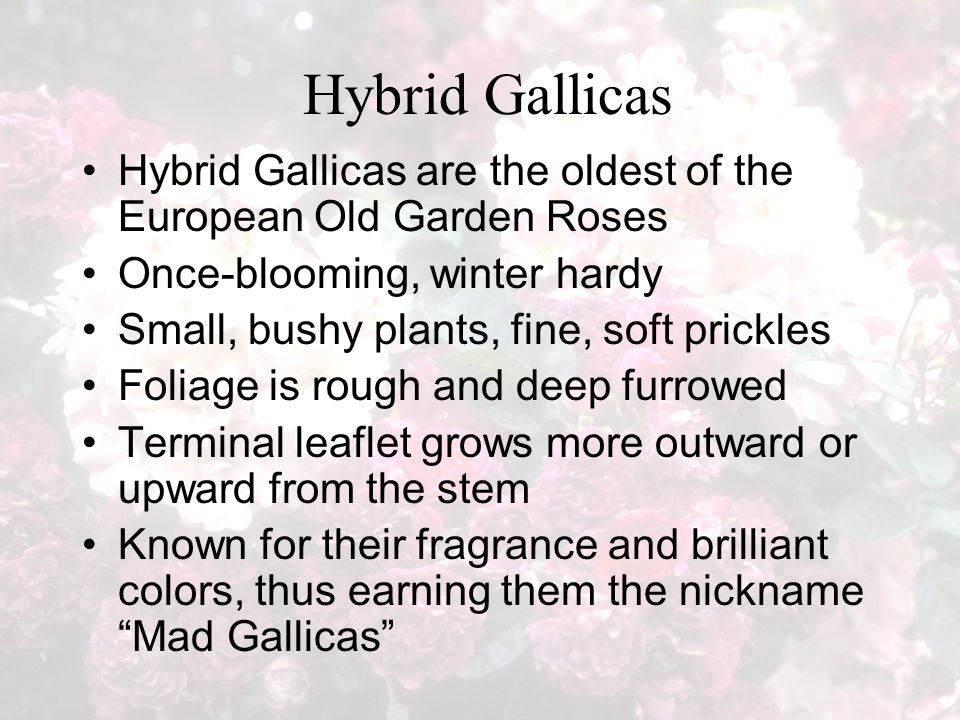 Hybrid Gallicas Hybrid Gallicas are the oldest of the European Old Garden Roses Once-blooming, winter hardy Small, bushy plants, fine, soft prickles Foliage is rough and deep furrowed Terminal leaflet grows more outward or upward from the stem Known for their fragrance and brilliant colors, thus earning them the nickname Mad Gallicas