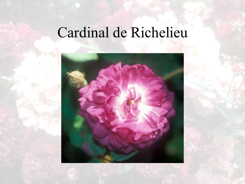 Cardinal de Richelieu